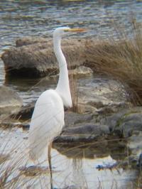 野鳥をスマホで撮影マニュアルフォーカス再度 - 虫のひとりごと