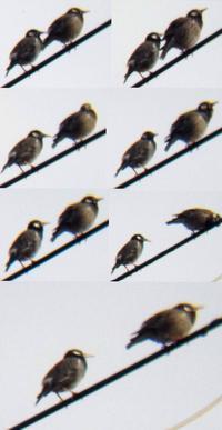 野鳥をスマホで撮影なかよしムクドリ - 虫のひとりごと