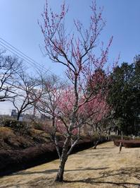 梅の花 - 猫屋の今日も園芸日和〜ギボウシ達の庭〜