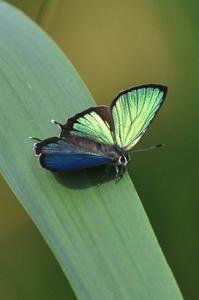 想い出の1枚の写真・・・ミドリシジミ - 続・蝶と自然の物語