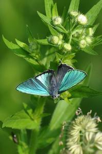 想い出の1枚の写真・・・ヒロオビミドリシzミ - 続・蝶と自然の物語