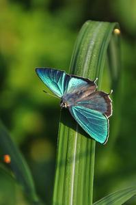 思い出の1枚の写真・・・エゾミドリシジミ - 続・蝶と自然の物語