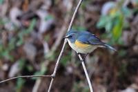 今日のルリビタキ 雄 - 野鳥の視線