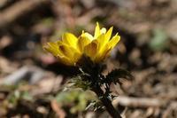 ■春を探しに (4)21.2.25(福寿草、山茱萸、満作) - 舞岡公園の自然2
