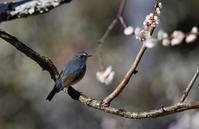 梅の花にルリビタキオスくんメスさん - 鳥と共に日々是好日②