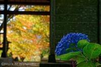 秋冬の紫陽花 - Mark.M.Watanabeの熊本撮影紀行