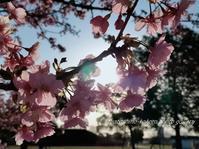 「早朝の河津桜 Ⅱ」 - 私の心の日記箱 Vol.0