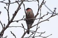 樹上のウソ - 探鳥ものがたり