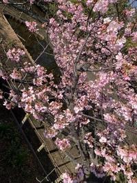 春めく - さんしゅゆの花