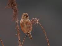 相模川にベニマシコ探しに出掛けました!KOS - シエロの野鳥観察記録