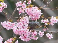 月並みですが!河津桜とヒヨドリKOS - シエロの野鳥観察記録