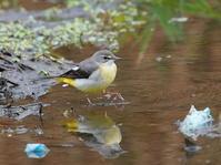 水温む水辺のキセキレイKOS - シエロの野鳥観察記録