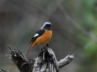 良い所どまりのジョウビタキKOS - シエロの野鳥観察記録