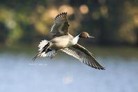 # オナガガモ、キンクロハジロ - TORI たどり (小鳥、わんこ、写真 ♥)