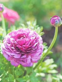 ラナンキュラスのコサージュ - Bonbon Fleur ~ Jours heureux  コサージュ&和装髪飾りボンボン・フルール