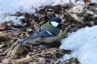 みちのく春の小鳥たち - みちのくの大自然