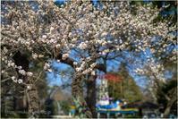 公園に咲く白梅 - muku3のフォトスケッチ