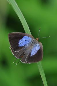 想い出の1枚の写真・・・ウラミスジシジミ - 続・蝶と自然の物語