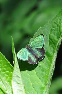 思い出の1枚の写真・・・アイノミドリシジミ - 続・蝶と自然の物語