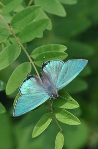 思い出の1枚の写真・・・オオミドリシジミ - 続・蝶と自然の物語