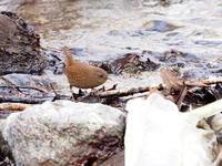 厳冬の渓流にいたミソサザイ - コーヒー党の野鳥と自然パート3