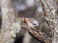 ズミの木に飛来したヒレンジャク - コーヒー党の野鳥と自然パート3