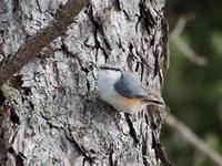 ゴジュウカラが樹肌を伝う - コーヒー党の野鳥と自然パート3