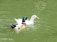 薬師池の水鳥たち - 花と葉っぱ