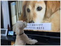 大と一緒に、供血犬のニュースを見たよ。 - さくらおばちゃんの趣味悠遊