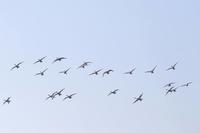 多々良沼の白鳥2月に2 - 光の 音色を聞きながら Ⅵ