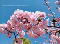 「青空とモッコモコ満開の河津桜」 - 私の心の日記箱 Vol.0