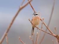 河原に沢山居たホオジロKOS - シエロの野鳥観察記録