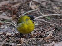 ハンノキの下の道路で採餌するマヒワペアHNR - シエロの野鳥観察記録
