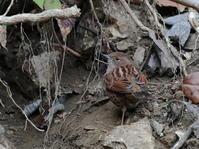 定番ポイントのカヤクグリHNR - シエロの野鳥観察記録