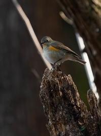 入口の水汲み場周辺の住人!ルリビタキHNR - シエロの野鳥観察記録