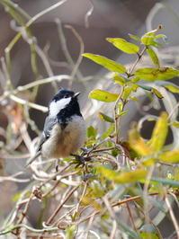虫探しに励むヒガラHNR - シエロの野鳥観察記録