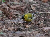 ハンノキの下の道路で採餌するマヒワHNR - シエロの野鳥観察記録