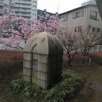 丸子橋公園河津桜が見頃です - 新丸子の不動産屋、 マンション管理士です