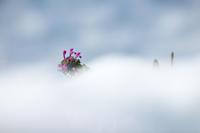 雪に咲くホトケノザ - 但馬・写真日和
