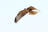 ノスリ - 銀狐の鳥見