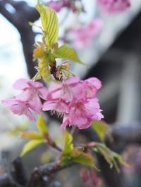パピヨンさんの箸置きと河津桜 - ロビンとルークと有のスローライフ ~episode2~