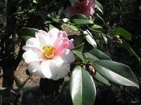 薬師池の花、絞笑顔 - 花と葉っぱ