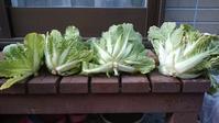 白菜収穫と初ジャガイモを埋めた - 0ri0ri's備忘録