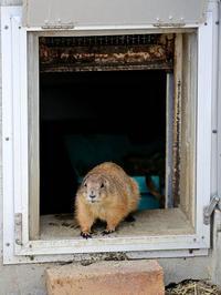 プレーリードッグが寝室から出てきました。 - 動物園放浪記