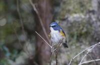 午後のひととき2羽のルリビタキヤマガラ - 岡崎野鳥写真館