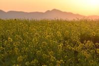 竹之内の菜の花畑 - 奈良・桜井の歴史と社会