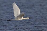 ヘラサギ飛翔編 - 『彩の国ピンボケ野鳥写真館』