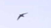 ツバメらしき飛行物体発見 - 虫のひとりごと