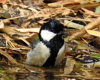 京都府小畑川の野鳥たち - 自然の写真帖
