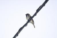 小山登りでシマエナガと出逢い - 小鳥 ときどき 星